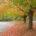 maple-trees-1362545